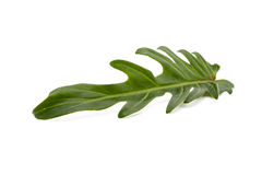 Philodendron Xanadu leaf isolated Stock Photography