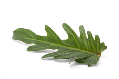 Philodendron Xanadu leaf isolated Stock Images