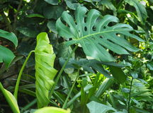 Philodendronsidor Royaltyfria Foton