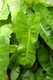Philodendronsidor i naturträdgård Arkivbilder