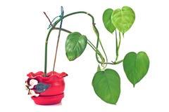 Philodendronväxt i röd lantlig keramisk kruka fotografering för bildbyråer
