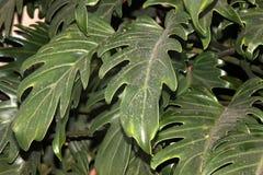 Philodendronxanadu, Winterbourn Philodendron Fotografering för Bildbyråer