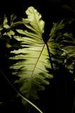 Philodendrum alla notte Immagine Stock