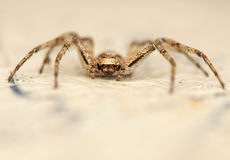 Philodromus Royalty Free Stock Photography