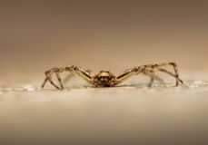 Philodromus Royalty Free Stock Images
