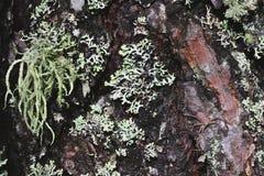 Philodromus spider. Camouflaged on pine bark Stock Images