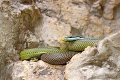 Philodryas baroni, Baron`s green racer, stone near river habitat. Wildlife scene from nature. Snake from Bolivia, Argentina, Para royalty free stock photography