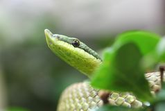 Argentinian Long-nosed Tree Snake  Philodryas baroni. Philodryas baroni, common name Baron`s green racer, is a species of mildly venomous snake in the family Stock Photo