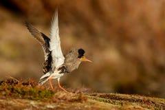 Χοντροσκαλίδρα - αρσενικό Philomachus pugnax Στοκ φωτογραφία με δικαίωμα ελεύθερης χρήσης