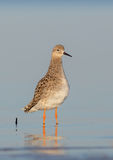 Philomachus pugnax / Calidris pugnax - Ruff Stock Photos