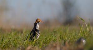 Philomachus pugnax / Calidris pugnax - Ruff. Male at the mating season Stock Photo