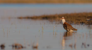 Philomachus pugnax / Calidris pugnax - Ruff. Male at the mating season Stock Images