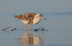 Philomachus pugnax / Calidris pugnax - Ruff Stock Photo