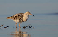 Philomachus pugnax / Calidris pugnax - Ruff Royalty Free Stock Photo