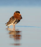 Philomachus pugnax / Calidris pugnax - Ruff Royalty Free Stock Photography