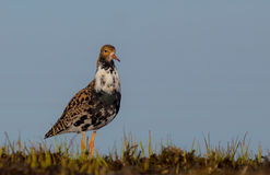Philomachus pugnax / Calidris pugnax - Ruff Royalty Free Stock Images
