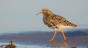 Philomachus pugnax / Calidris pugnax - Ruff. Male on a mating season at Curonian Lagoon, Lithuania Royalty Free Stock Image
