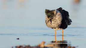 Philomachus pugnax / Calidris pugnax - Ruff. Male on a mating season at Curonian Lagoon, Lithuania Stock Image