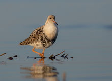 Philomachus pugnax / Calidris pugnax - Ruff Royalty Free Stock Photos
