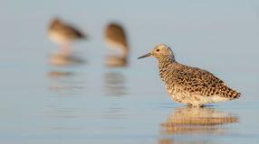 Philomachus pugnax / Calidris pugnax - Ruff Stock Photography