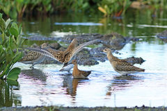 Philomachus pugnax. Males and female of a ruff. Philomachus pugnax. Pack of reeves on the swamp in Siberia Stock Photos
