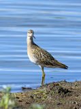 Philomachus pugnax. Ruff on the bank of a reservoir Stock Images