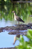 Philomachus pugnax. Ruff among marshy thickets in the North Stock Photos
