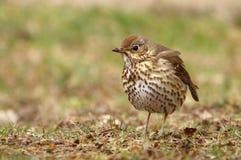 Philomelos de Turdus d'oiseau de grive de Brown Photos stock