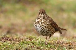 Philomelos de Turdus d'oiseau de grive de Brown Photo stock