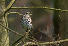 Philomelos de Turdus de grive de chanson au printemps Photo libre de droits