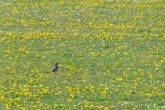 Philomelos för turdusen för sångtrasten som samlar kryp och, avmaskar i ett fält av maskrosor och tusenskönor för lös blomma i vå arkivfoton