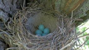 Philomelos Turdus αυγών τσιχλών φιλμ μικρού μήκους