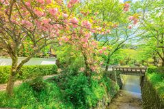 Philosopher`s Walk cherry blossom. Scenic landscape of pink cherry blossom trees along Philosopher`s walk during Sakura in sping season. The Path is a famous Stock Photography