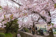 Philosopher`s Walk with sakura cherry blossom in the Springtim. E. Kyoto Japan Stock Images