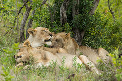 Phinda Lions in South Africa Royalty Free Stock Image