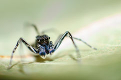 Phintella Jumping Spider Royalty Free Stock Photography