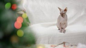 Phinx che si siede sul sofà stock footage