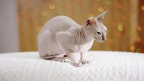Phinx del gatto sul sofà video d archivio