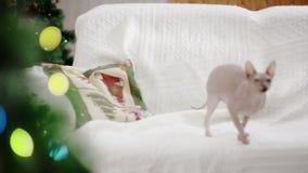 Phinx sul sofà bianco dell'interno stock footage