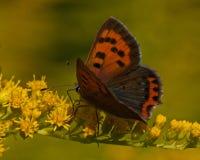 Phlaeas de cobre pequenos do lycaena Fotografia de Stock Royalty Free