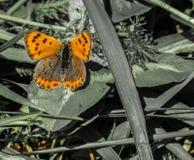 Phlaeas del Lycaena - hembra Fotografía de archivo