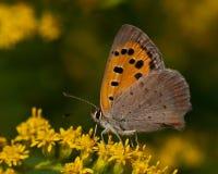 phlaeas lycaena χαλκού μικρά Στοκ εικόνες με δικαίωμα ελεύθερης χρήσης