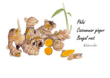 Phlai,Cassummunar ginger .Hand drawn watercolor painting on white background.Vector illustration Stock Images