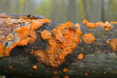 Phlebia radiata fungus Royalty Free Stock Photos