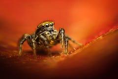 Phlegra fasciata蜘蛛 免版税库存照片