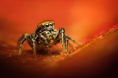 Phlegra fasciata spider. Cute little Phlegra fasciata female jumping spider against colorful background Royalty Free Stock Photos