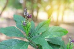 Phlogacanthus Pulcherrimus flower with leaves green. Dee Plaa Gang. Phlogacanthus Pulcherrimus flower with leaves green. Dee Plaa Gang Stock Image