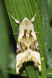 Phlogophora meticulosa / The Angle Shades moth Stock Image