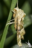 Phlogophora meticulosa / The Angle Shades moth Stock Photography