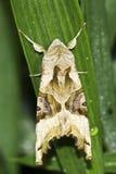 Phlogophora-meticulosa/die Achateulemotte Stockbild